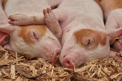 Jak zabránit další pandemii? Omezme spotřebu masa, nabádá OSN