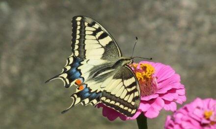 Každý desátý druh včel a motýlů je kvůli pesticidům či úbytku přirozených stanovišť v Evropě ohrožený vyhynutím