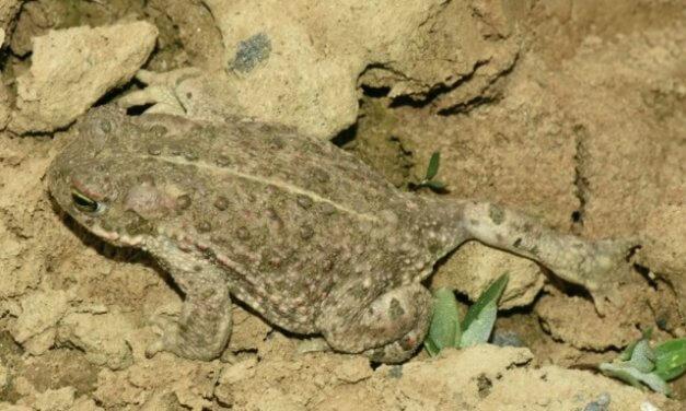 Nejvzácnější českou žábu objevili biologové poprvé i ve Slezsku