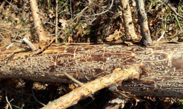Na odumírání borovice lesní se významně podílí škodlivý hmyz a houby