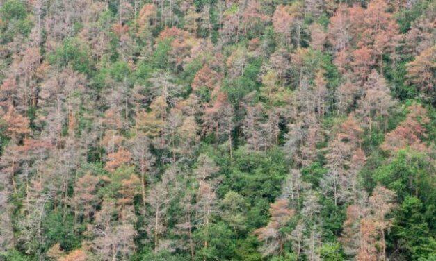 Krize zdravotního stavu borových porostů